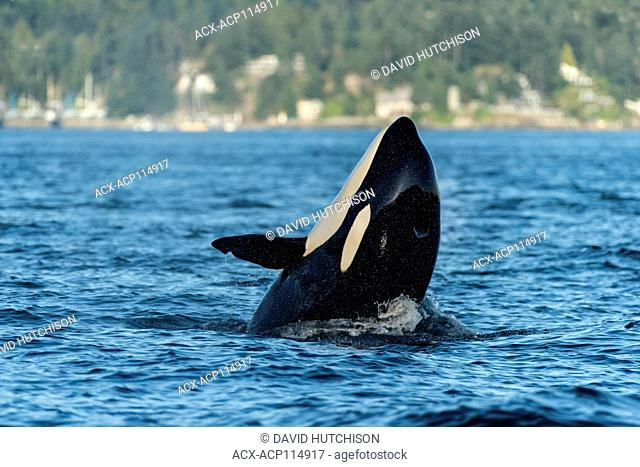 Orca Whales, Howe Sound (near Vancouver), BC Canada