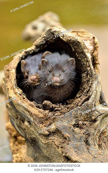 Mink (Mustela vison) two pups, captive, Minnesota wildlife Connection, Sandstone, Minnesota, USA