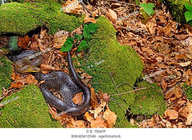 Aesculapian snake (Elaphe longissima, Zamenis longissimus), on mossy ground, Germany, Bavaria, Bavarian Forest National Park