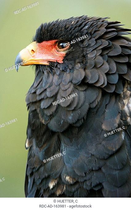Bateleur Terathopius ecaudatus side profile