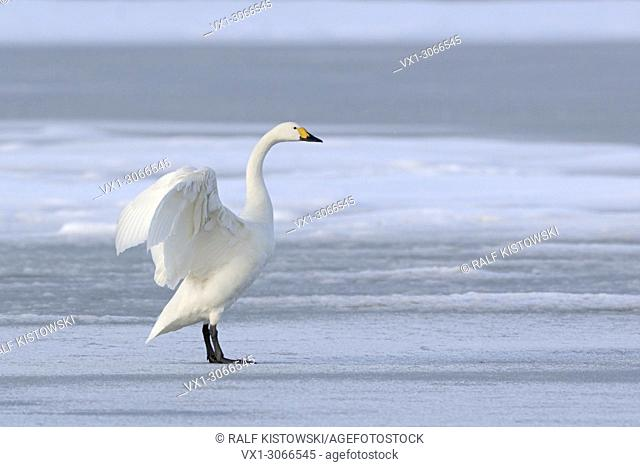 Bewick's Swan ( Cygnus columbianus bewickii ), one adult, wings up, on a frozen lake in winter, rare winter guest, wildlife, Europe.