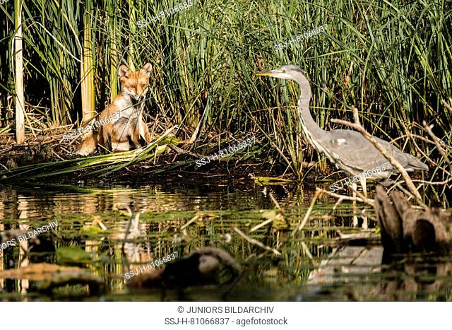 Red Fox (Vulpes vulpes). Juvenile watching a Gray Heron (Ardea cinerea) at a pond. Germany