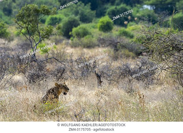 A lioness (Panthera leo) is looking for prey in the Samburu National Reserve in Kenya