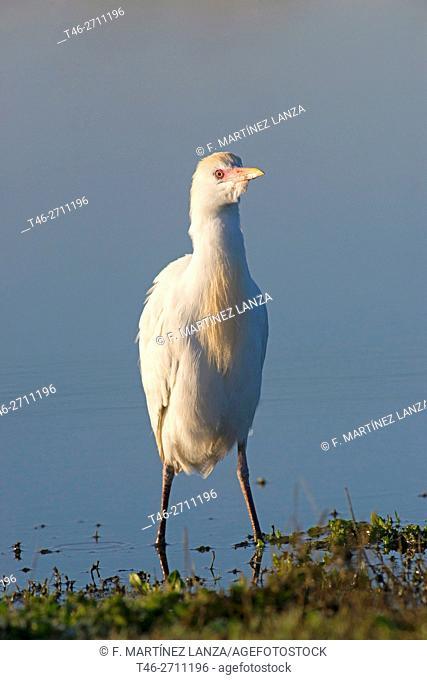 Cattle egret (Bubulcus ibis). Torrejón de Velasco, Madrid province, Spain