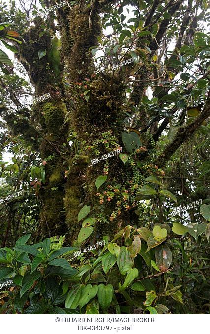 Cloud forest, Santa Elena Cloud Forest Reserve, Alajuela province, Costa Rica