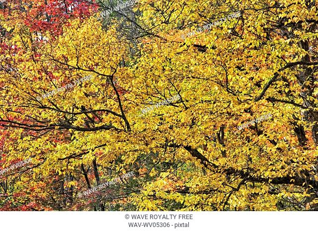 Yellow birch and sugar maples trees in autumn colours  Algonquin Provincial Park, Ontario  Canada