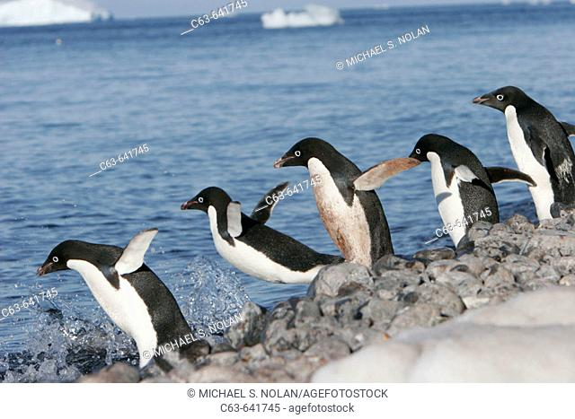 Adelie penguins (Pygoscelis adeliae) hauled out in their breeding colonies in and around the Antarctic Peninsula. This is a truly ice dependant species of...