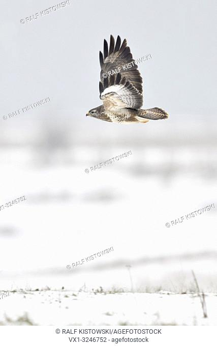 Common Buzzard / Maeusebussard ( Buteo buteo ) in winter, flying over snow covered meadows, starts hunting flight, wildlife, Europe.