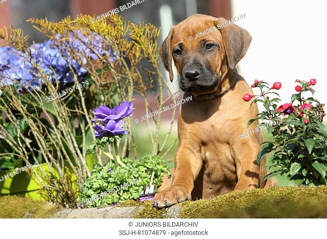Rhodesian Ridgeback. Puppy (she-dog, 7 weeks old) sitting next to spring flowers in a garden. Germany