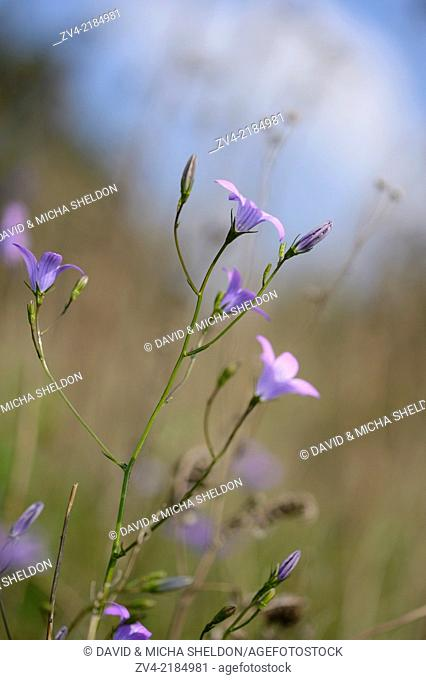Close-op of spreading bellflower (Campanula patula) blossoms in a meadow in spring