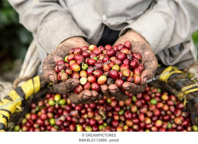 Hispanic farmer's hands holding coffee fruits