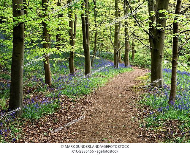 Path through Bluebells at Middleton Woods near Ilkley West Yorkshire England