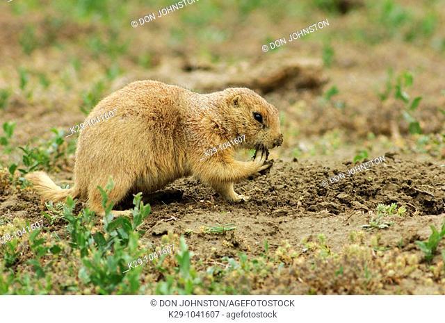 Black tailed prairie dog Cynomys ludovicianus Excavating burrow