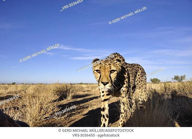 A cheetah in the namibian Kalahari, where one third of the world population is living