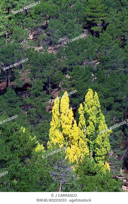 white poplar, silver-leaved poplar, abele Populus alba, between pine forest in autumn, Spain, Aragon, Pinares de rodeno, Teruel