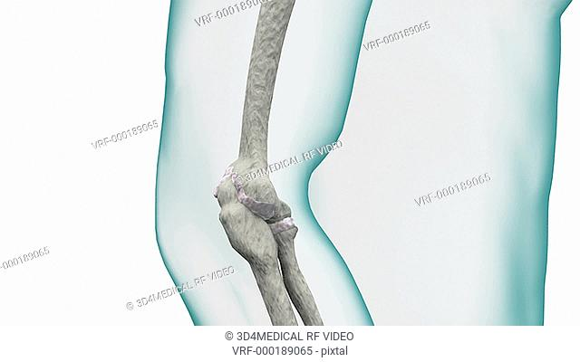 Depiction of a skeletal elbow joint. The camera slowly zooms in on the elbow joint