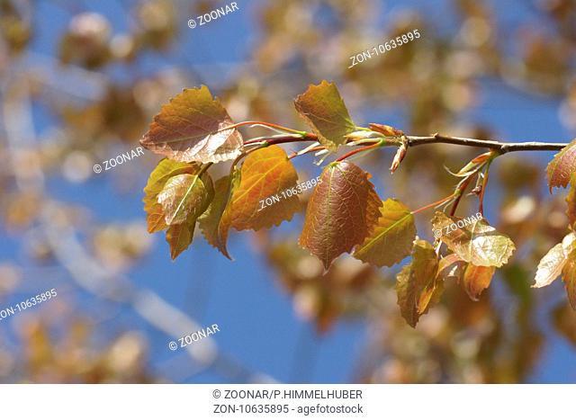 Populus tremula, Aspen, fresh leaves