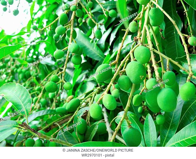 Thailand, Chang Wat Phang-nga, Tambon Khuekkhak, Immature mangoes on the shrub