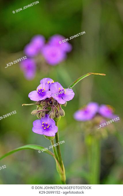 Spiderwort (Tradescantia sp. ), FM 962 to Round Mountain, Texas, USA