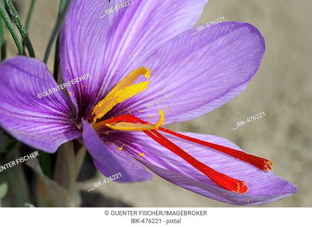 Autumn Crocus, Saffron flower, Crocus sativus, Mund, Valais, Switzerland