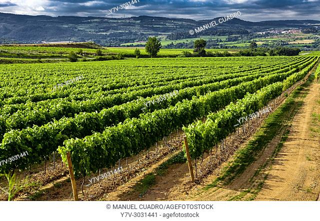 Vineyards in the Penedes region (Denominación de Origen Penedes). Barcelona province, Catalonia, Spain