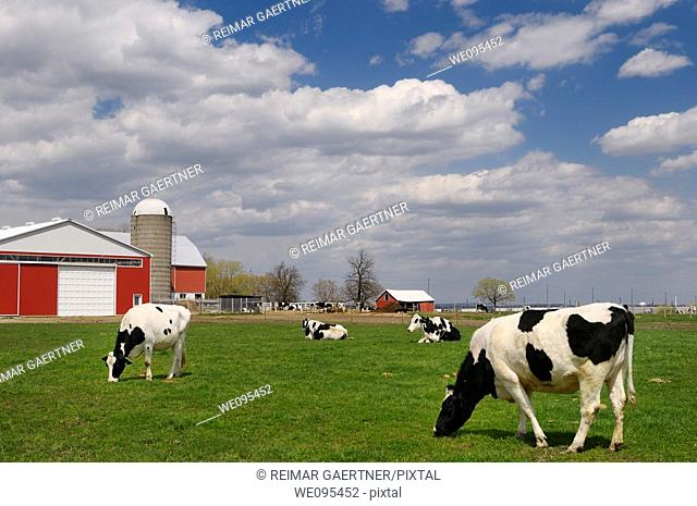 Herd of Hostein dairy cows in a farm pasture with a large red barn