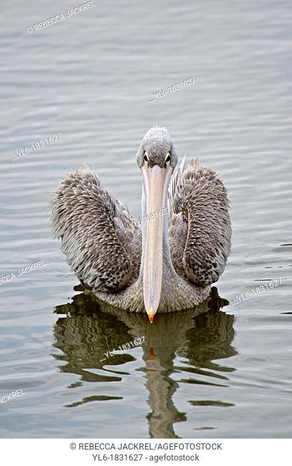 A pink-backed pelican swimming in a lake in Ethiopia