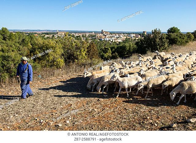 Flock of sheep, Alarcón, Cuenca province, Spain