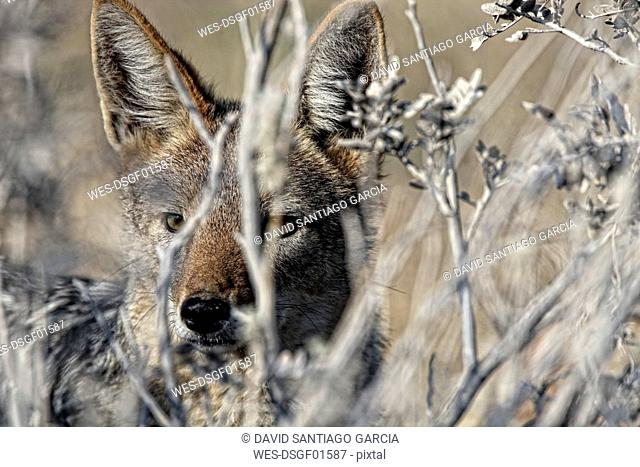 Namibia, Etosha National Park, portrait of a Black-backed Jackal