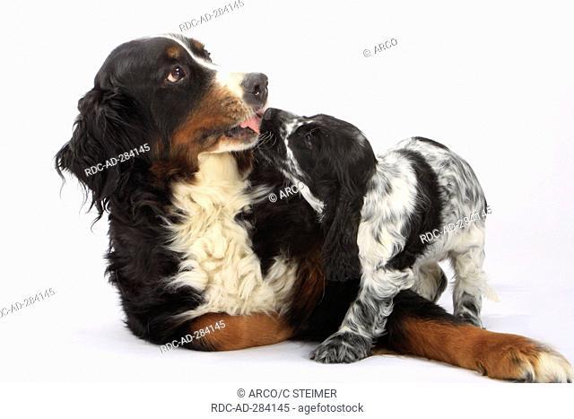 English Cocker Spaniel, puppy, and Bernese Mountain Dog