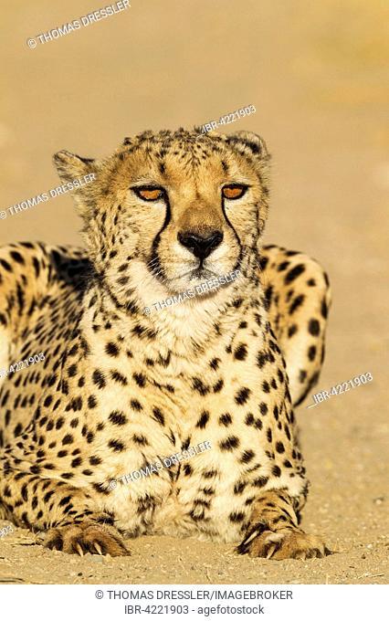 Cheetah (Acinonyx jubatus), male, sitting, captive, Namibia