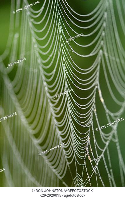 Dew-covered bowl and doily spider web ((Frontinella communis))- constructed in red-top grass seed head, Greater Sudbury, Ontario, Canada