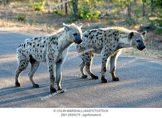 Spotted Hyena (Crocuta crocuta) aka Laughing Hyena on road, Kruger National Park, Transvaal, South Africa