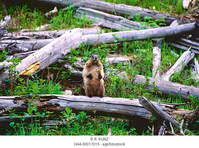 Yellow-bellied Marmot, Marmota flaviventris, Sciuridae, Marmot, mammal, animal, Jasper National Park, Alberta, Canada
