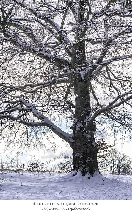 Mighty big oak tree in snowy wintery environment
