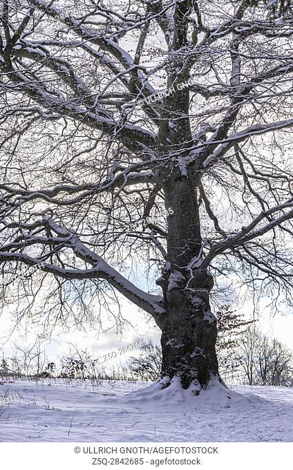 Mighty big oak tree in snowy wintery environment