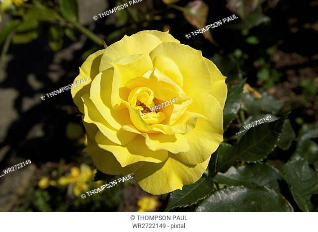 90900146, Roses, yellow, rose, flower, flowers, pl
