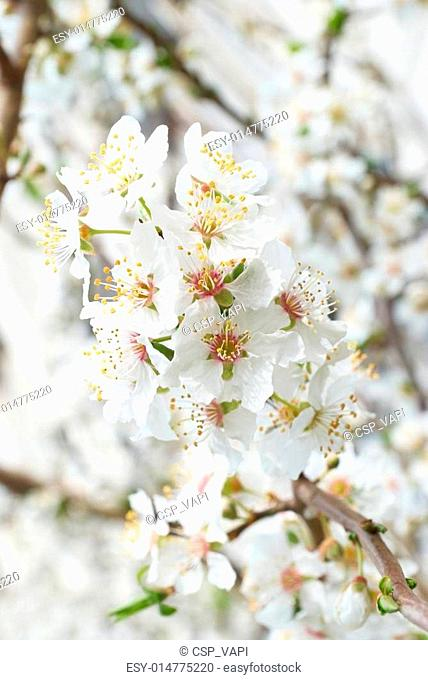 Plum-tree white flowers