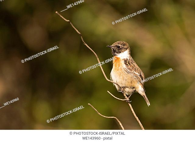 common stonechat, or European Stonechat (Saxicola rubicola). This small songbird gets its name from its call, which sounds like two stones being knocked...