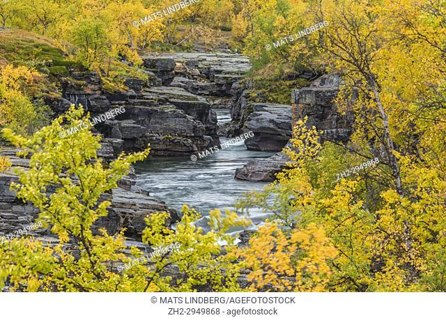 Abiskojokk in autumn season with yellow birch trees, wind moving the trees, nice blue turquoise water, Abisko, Kiruna county, Swedish Lapland, Sweden