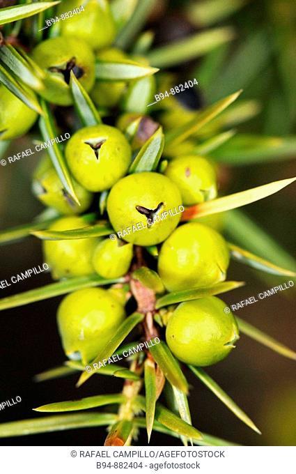 Common Juniper (Juniperus communis), berry-like seed cones. Osseja, Languedoc-Roussillon, Pyrenees Orientales, France