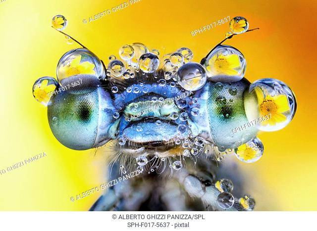 Damselfly with des drops on its eyes
