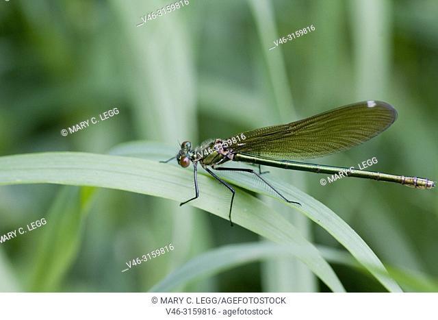 Female Beautiful Demoiselle, Calopteryx virgo