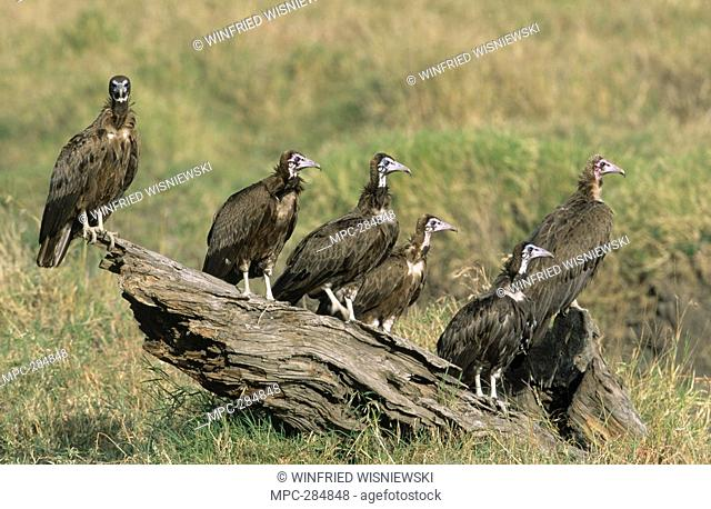 Hooded Vulture Necrosyrtes monachus, group perching on log, Africa