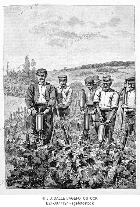 France. Fighting the phyllocerax in Champagne area. (drawing 1890). Grape phylloxera (Daktulosphaira vitifoliae (Fitch 1855); family Phylloxeridae