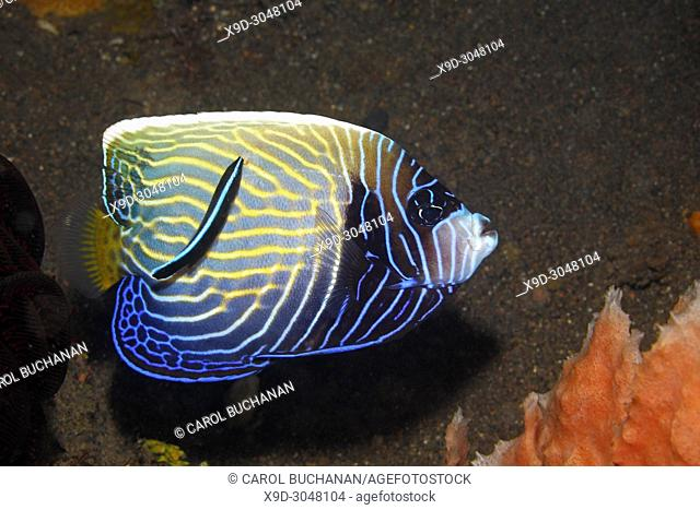 Sub Adult Emperor Angelfish, Pomacanthus imperator, with Blue Streak Cleaner Wrasse, Labroides dimidiatus. This angelfish is starting to change to the adult...