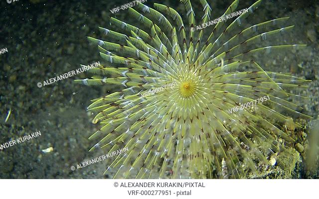 European fan worm (Sabella spallanzanii): corolla of tentacles swaying in the flow of water, side view