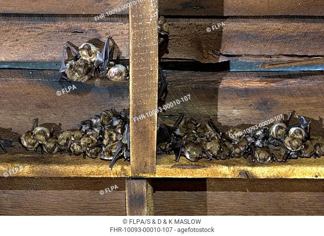 Big Brown Bat Eptesicus fuscus adults with young, nursery colony roosting in barn, U S A