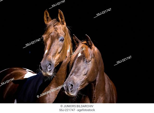 National Show Horse and Arabian Horse. Portrait of skewbald mare and Arabian horse seen against a black background. Germany