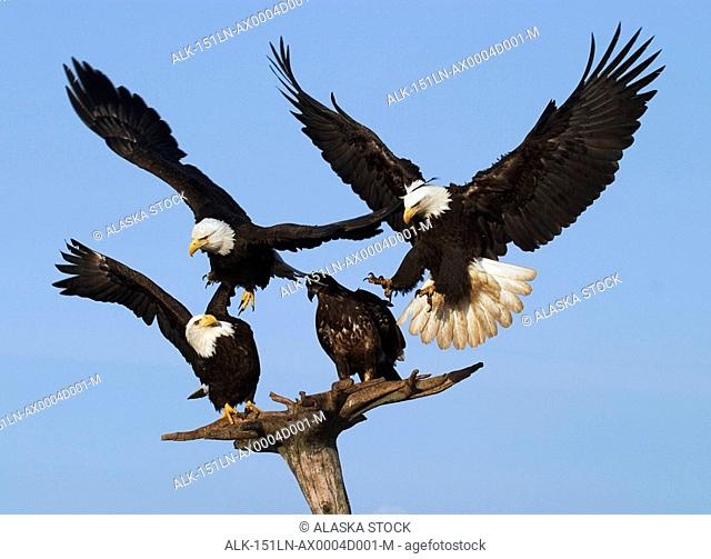 Multiple Bald Eagles On & Landing On Perch KP Alaska Winter Homer Spit